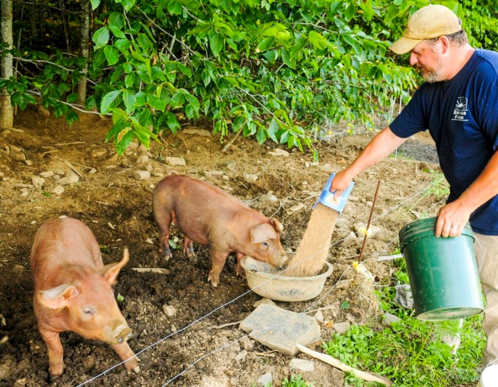 Corey O'Connell feeds grain to some of the 4-month-old pigs on Friday at Briggs Farm in Somerville.