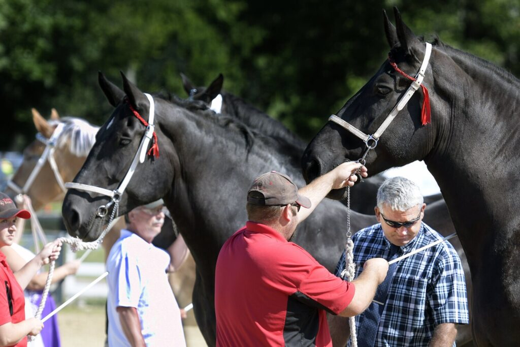 WINDSOR, ME - JULY 25: Judge Mark Christman, right, evaluates draft horses Sunday during a show on the first day of the Windsor Fair.