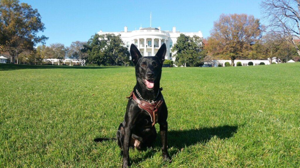 Secret Service canine Hurricane poses for  his retirement photo on White House lawn in 2016.