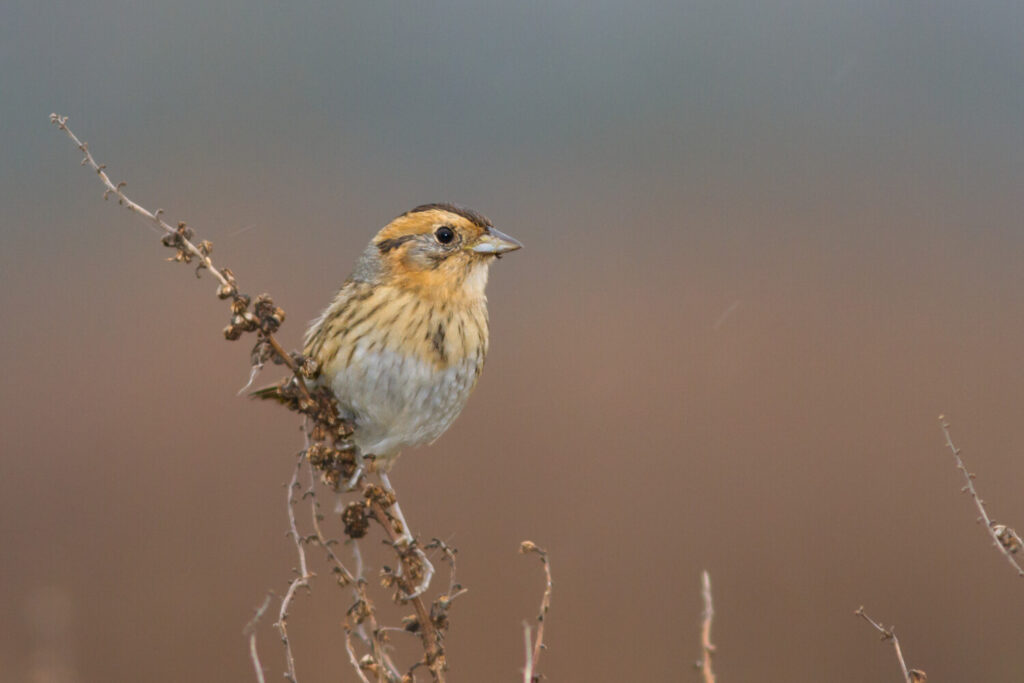 Nelson's Sparrow is one of four sparrow subspecies ornithologists have studied to better understand its adaptations to its tidal environment home.