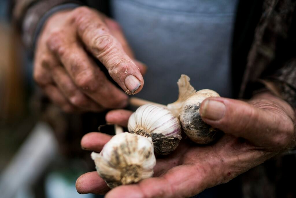 Garlic -- it's easy to grow if you ask an expert.