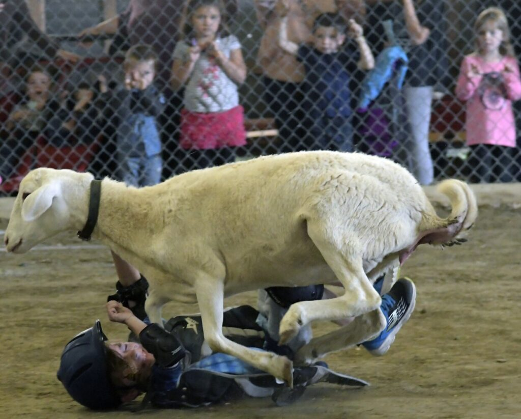 A child falls off a sheep during the mutton busting contest Sunday at the Litchfield Fair.