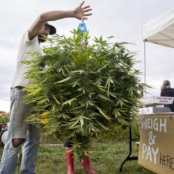 , Maine's first pick-your-own hemp field opens in Whitefield, Styding CBD, Styding CBD