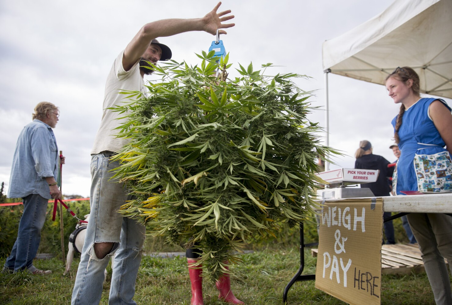 Maine's first pick-your-own hemp field opens in Whitefield - CentralMaine.com