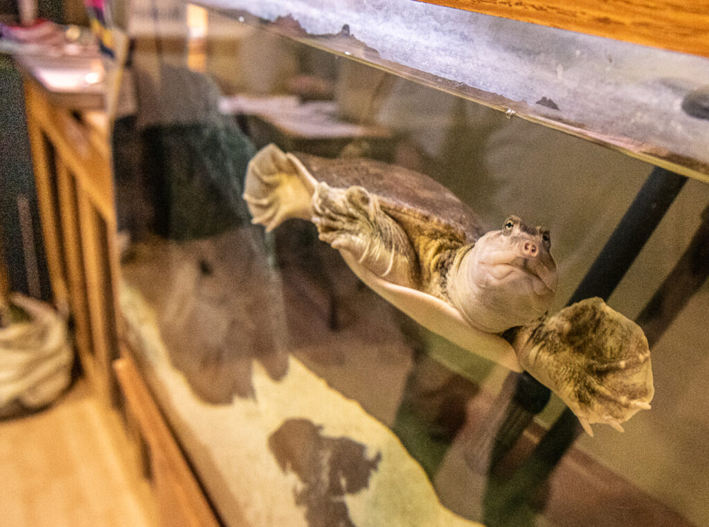 Adorable and illegal: Baby red-eared slider turtles ...