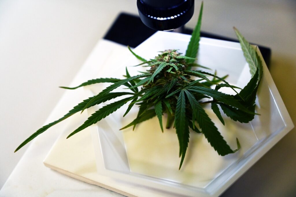 Cannabis under a microscope for vision inspection as samples are checked in at ProVerde Laboratories in Portland on Friday.