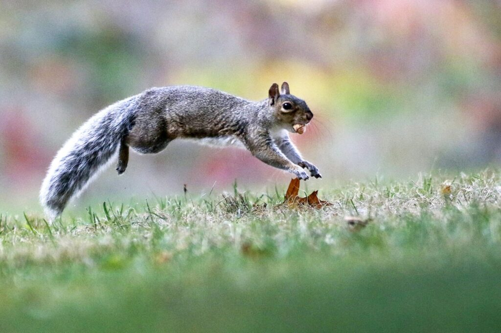 A squirrel leaps through the grass at Deering Oaks in Portland on Saturday with an acorn in its mouth.
