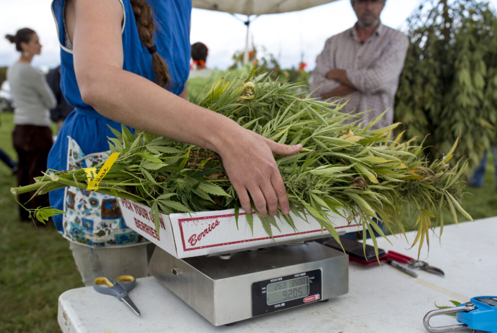 Taryn Marcus weighs hemp branches to determine the price at the first public pick-your-own hemp day at Sheepscot Farm in Whitefield on Sept. 25. New rules proposed by the state would increase the per acre fee for hemp farmers and change the way THC is calculated in the plant.