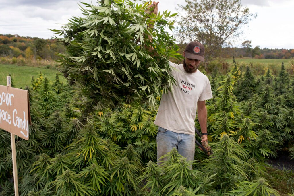Ben Marcus carries out an entire hemp plant that a customer picked out at the first public pick-your-own hemp day at Marcus' Sheepscot Farm in Whitefield on September 25.  Customers were allowed to go out on guided picks with Marcus or other employees who helped them navigate the fields.
