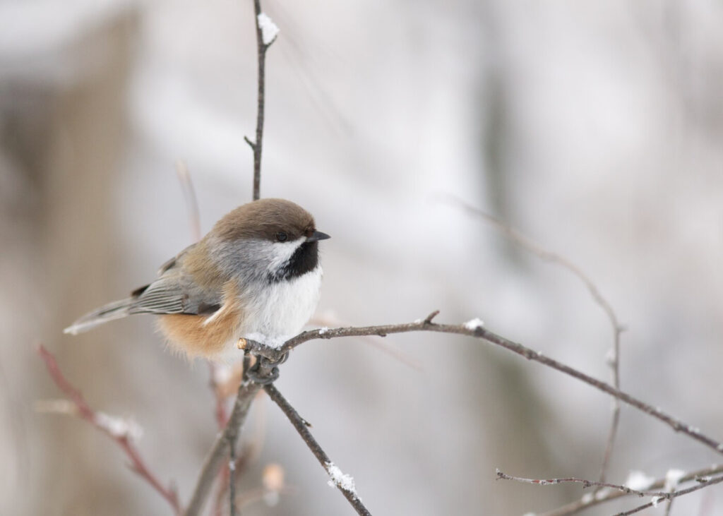 The boreal chickadee would be extirpated from Maine if current global temperatures continue to rise as a result of climate change, National Audubon reported recently.