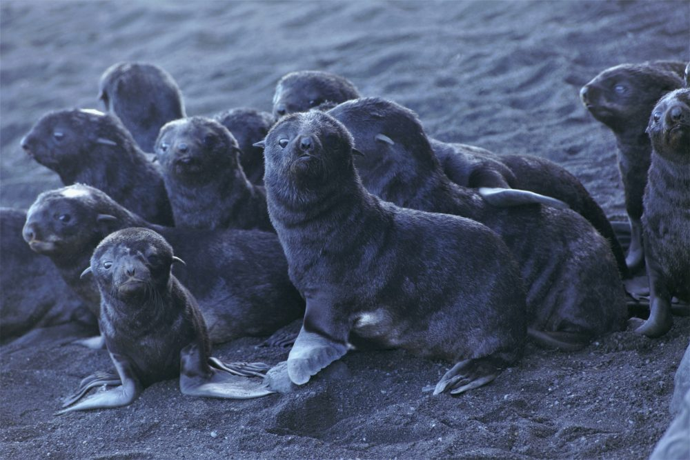 Northern fur seal pups stand on a beach on Bogoslof Island, Alaska, in August. Alaska's northern fur seals are thriving on an island that's the tip of an active undersea volcano. Numbers of fur seals continue to grow on tiny Bogoslof Island despite hot mud, steam and sulfurous gases spitting from vents on the volcano.