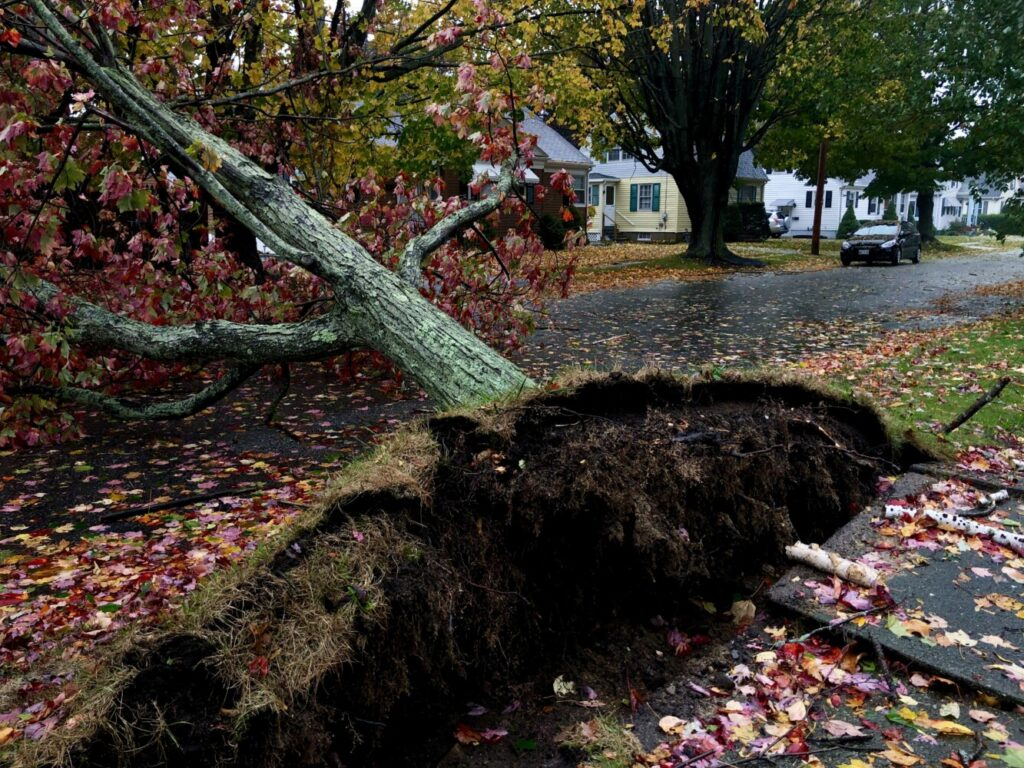 A fallen maple tree on Churchill Road in South Portland during a nor'easter on Oct. 17.