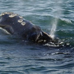 Right_Whale_Deaths_85807