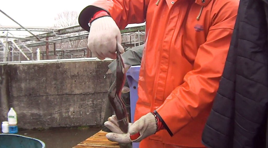 A still image shows a deformed salmon from Cooke Aquaculture of Bingham in a video released Monday.