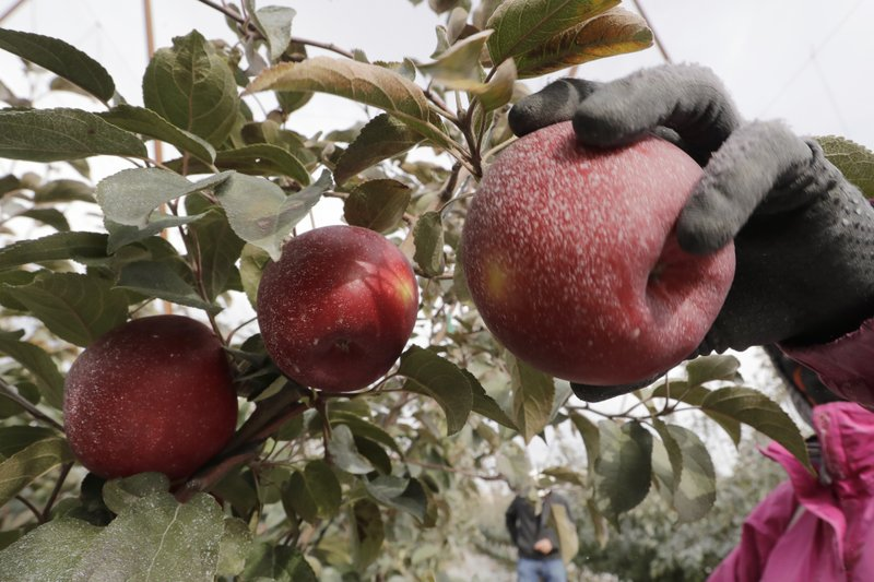A Cosmic Crisp apple, partially coated with a white kaolin clay to protect it from sunburn, is picked at an orchard in Wapato, Wash. The Cosmic Crisp, a new variety and the first-ever bred in Washington state, will be available beginning Dec. 1 and is expected to be a game-changer in the apple industry.
