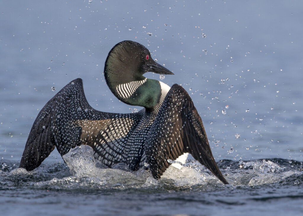 The common loon is projected to be extirpated from Maine if global temperatures continue to rise at the current pace, an increase of 3 degrees Celsius by 2100, according to a national Audubon report.