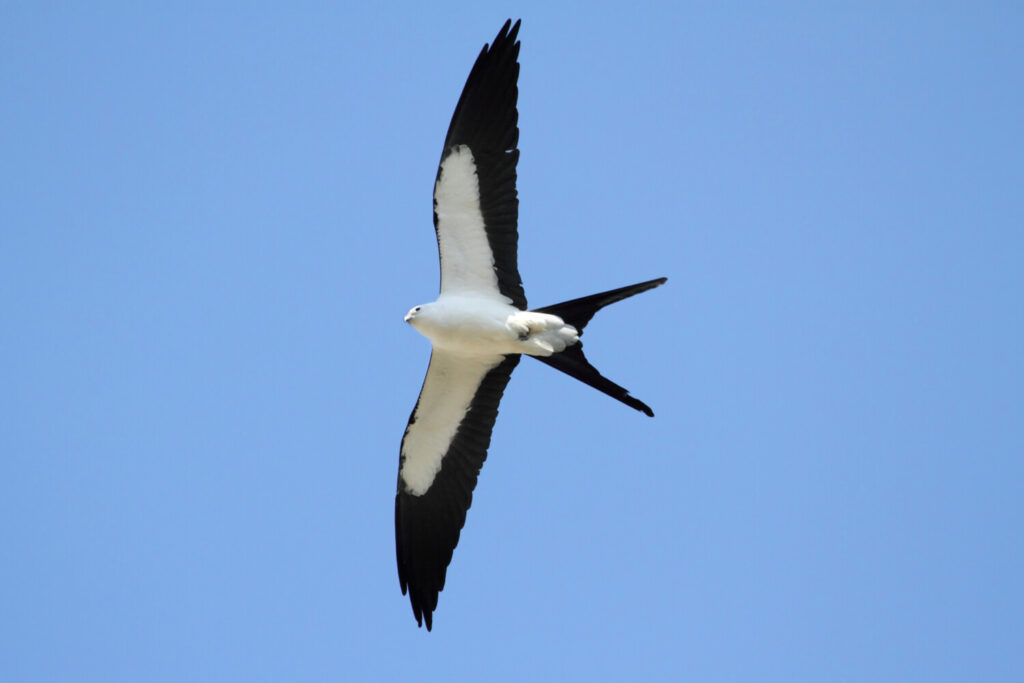 A swallow-tailed kite was seen in eastern Washington County in September, possibly knocked off course by a hurricane. It's been recorded in Maine only six other times.