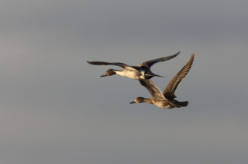 In the Outer Banks, diver ducks like these canvasbacks are often shot from blinds atop telephone-pole sized stilts.