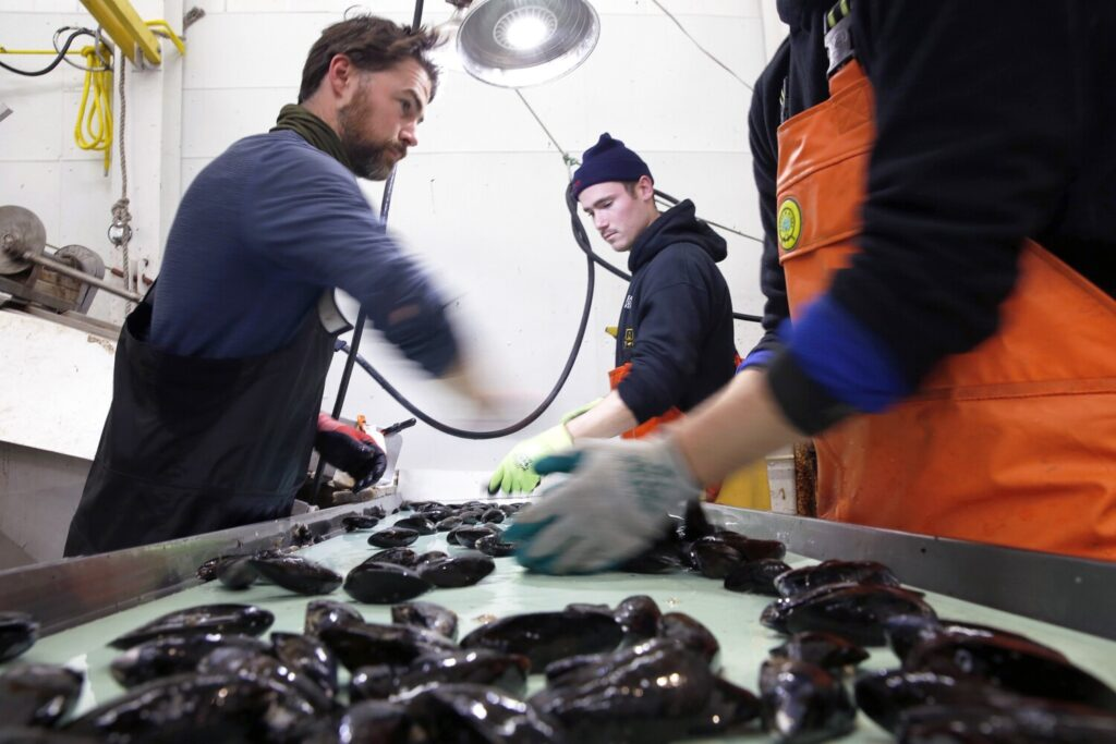 Employees of Bangs Island Mussels sort blue mussels as they travel down a conveyor belt. The company recently purchased another Casco Bay mussel operation and plans a significant expansion. From left are Greg Goodman, Ben Pryor and Adam Fisher.