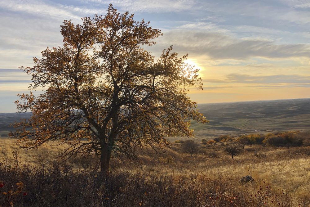 "The sun sets behind an apple tree that could be a ""lost"" variety known as Walbridge, in the Steptoe Butte area near Colfax, Wash. The tree is one of hundreds being studied by two amateur botanists with the Lost Apple Project."