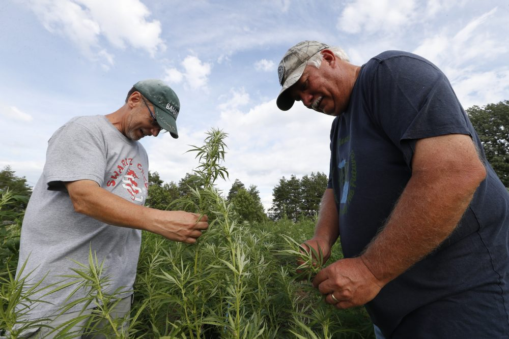 Jeff Dennings, left, and Dave Crabill industrial hemp farmers, check plants at their farm Aug. 21 in Clayton Township, Mich. The legalization of industrial hemp is spurring U.S. farmers into unfamiliar terrain, tempting them with profits amid turmoil in agriculture while proving to be a tricky endeavor in the early stages. Up for grabs is a lucrative market, one that could grow more than five-fold globally by 2025, driven by demand for cannabidiol.