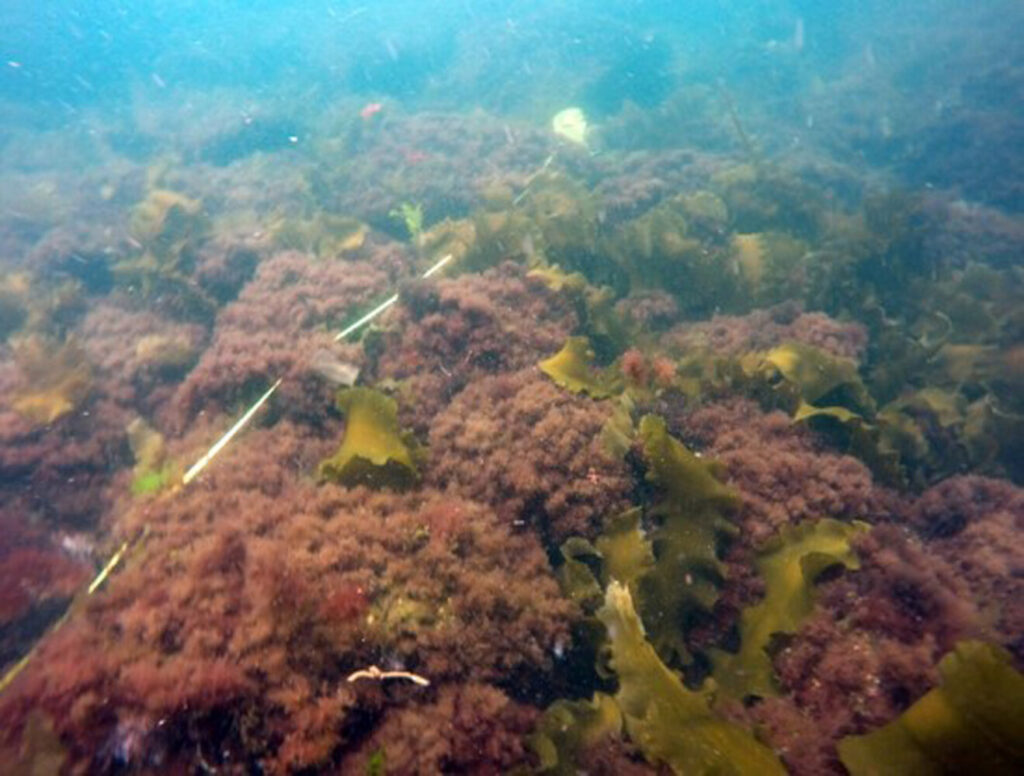 Shrub-like seaweed now dominates the seascape of the Gulf of Maine. Pictured here is the low-lying invasive seaweed known as Dasysiphonia japonica. The abundance of this type of turf seaweed could likely affect habitats and the structure of the food web.