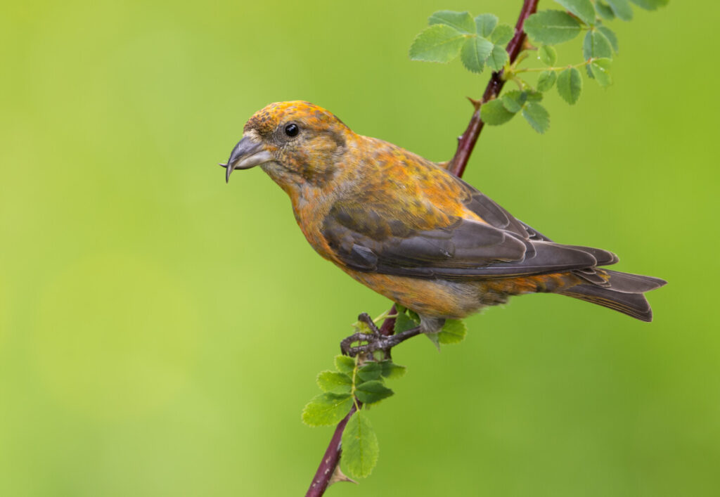 A red crossbill with its highly specialized beak.