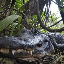 Alligator_Ban-Lawsuit_62468