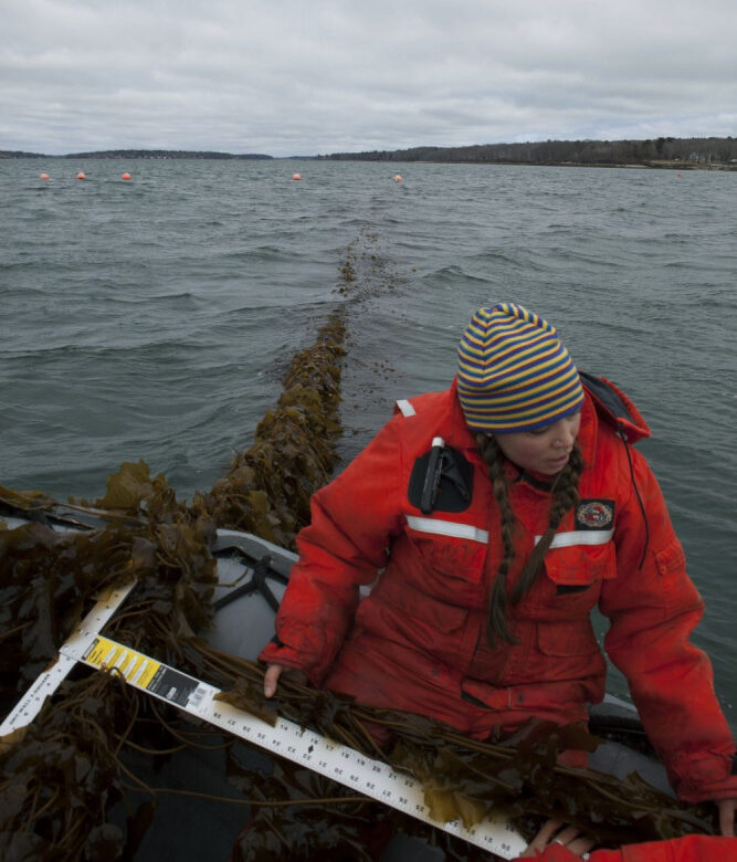 Brittney Honisch, a research associate at Bigelow Laboratory, measures a piece of kelp before harvest in Casco Bay in 2016.