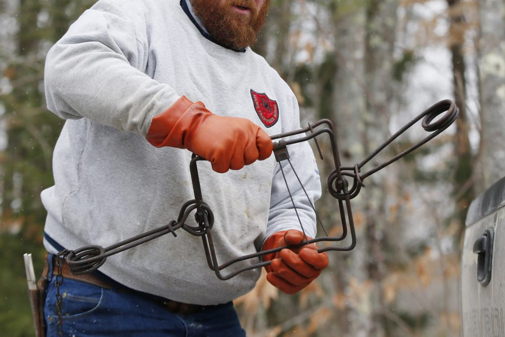 Brian Cogill prepares a trap he uses for beaver  in January 2015 in Limington. Trapping wild animals for fur is a way of life that goes back thousands of years in Maine, and the state is considering new ways to manage the declining business.
