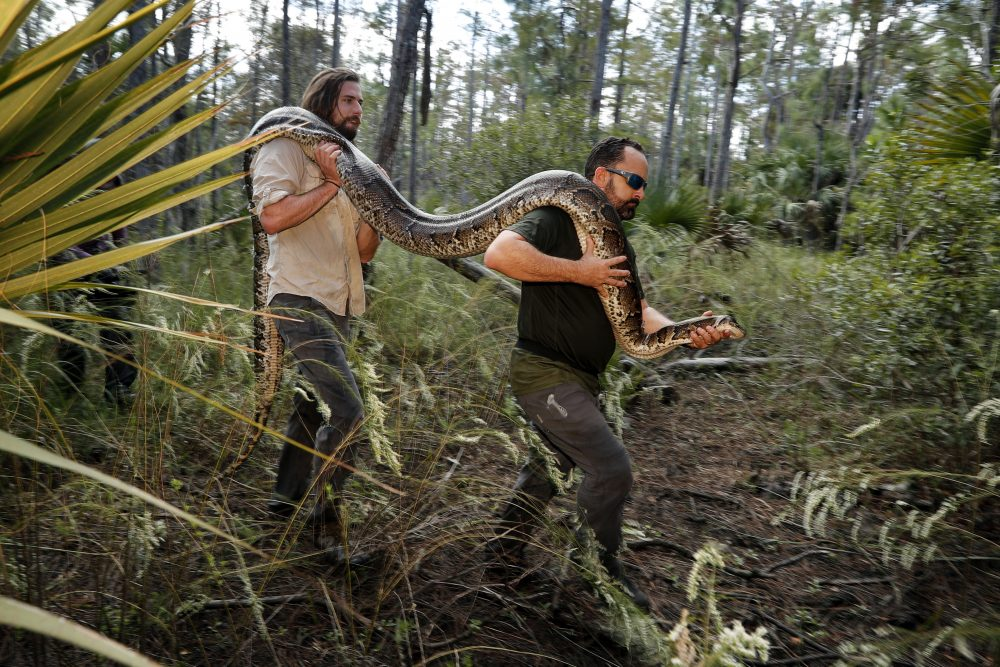 Ian Bartoszek, right, and Ian Easterling carry a 14-foot, 95-pound, female Burmese python out of an upland habitat in Naples, Fla, in 2019.