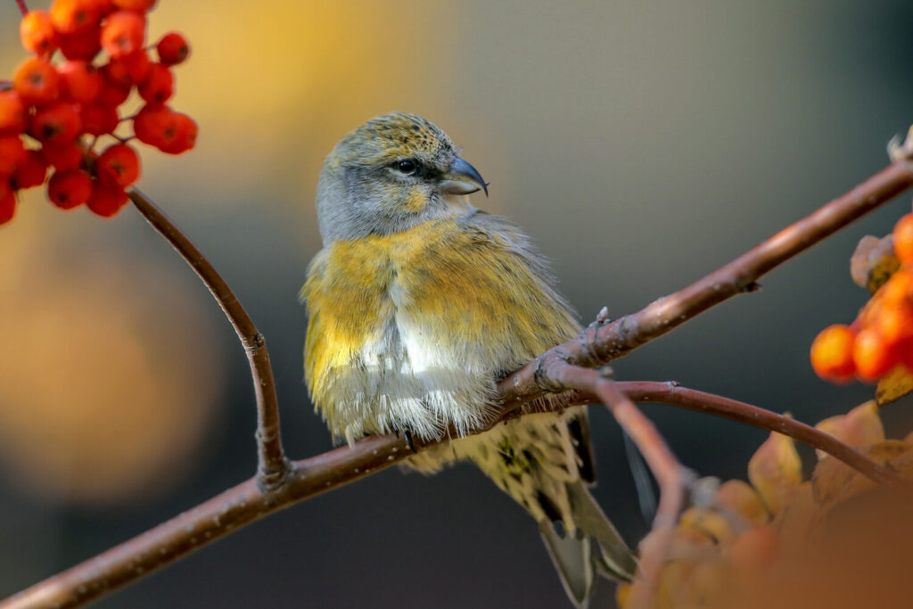 A White-winged Crossbill. Amazingly, these birds nest in every month of the year, even in severe cold.