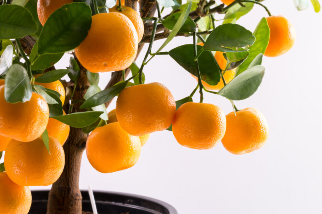 So you live far from Florida and half the year it's ice and snow? Take heart, you can still grow an orange tree.