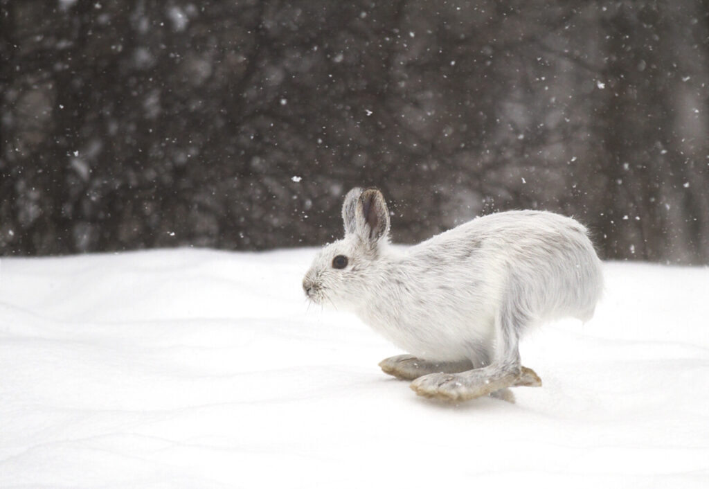 Deer hunting season is over in Maine, but you can still nab a snowshoe hare.