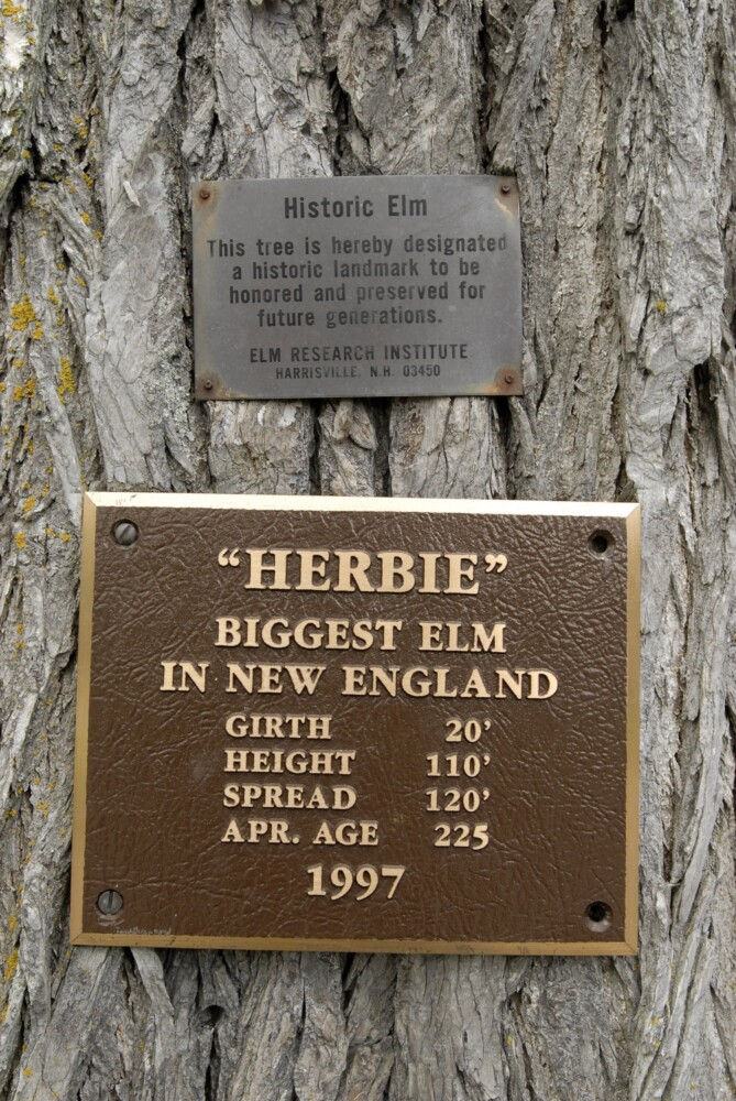 In 1997, a plaque was attached to Herbie's trunk. About 13 years later, the beloved elm tree had to be cut down. Now you can grow its clone.