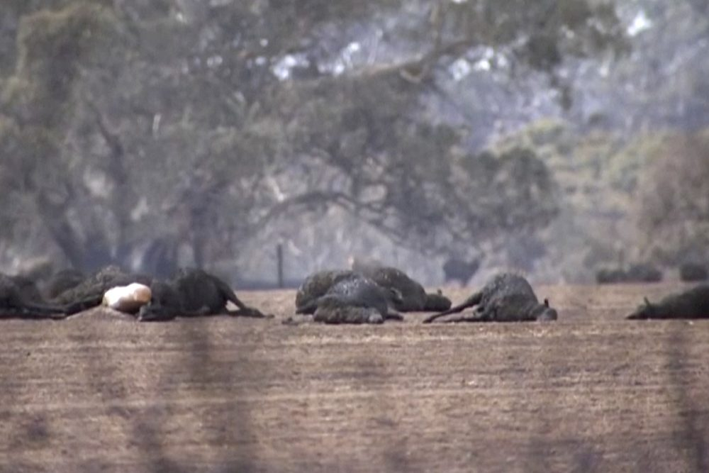 This image made from video shows dead kangaroos and sheep Sunday after wildfires hit the Kangaroo Island, South Australia.