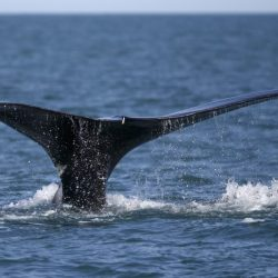 Maine_Lobstermen-Right_Whales_18701