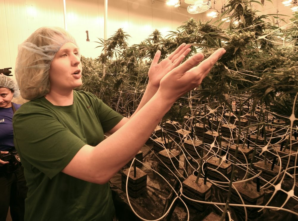 Elizabeth Keyser, lead grower at the Curaleaf medical cannabis cultivation and processing facility in Ravena, N.Y., talks about flowering medical marijuana plants being grown in August. Although legislative efforts stalled and a vaping sickness stirred new concerns, the governors of New York, New Jersey and Connecticut still want to make recreational pot legal. But the states have different approaches and timeframes, and some proposals have shifted since last year.
