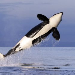 Missing_Northwest_Orca_54440