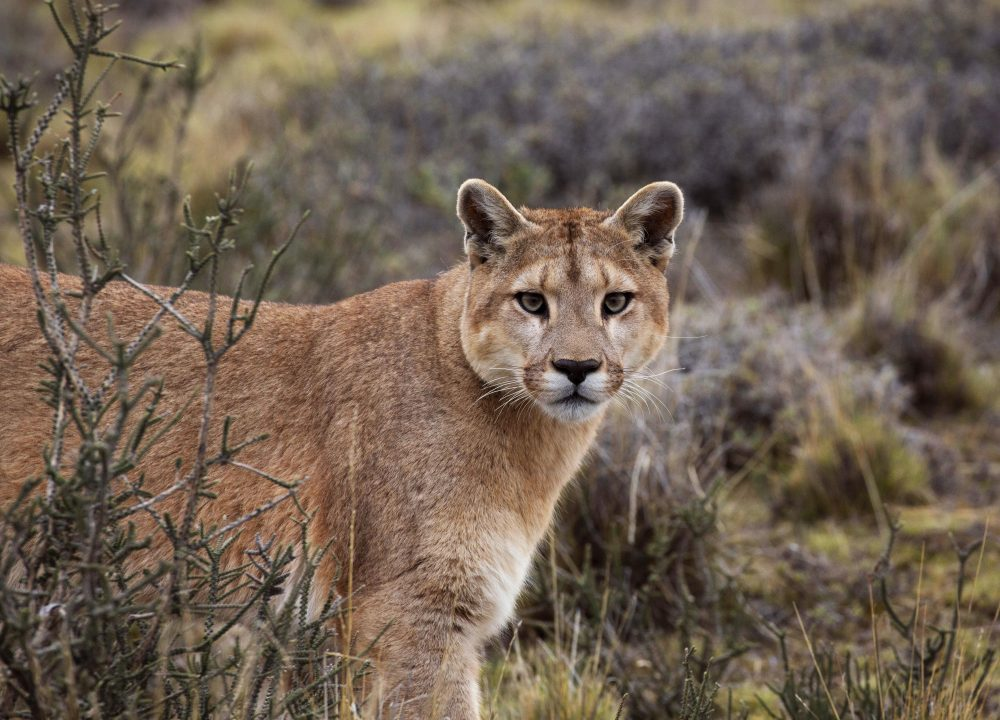 "This image released by BBC America shows a female puma on the hunt in Torres del Paine National Park, Chile, featured in the nature series ""Seven Worlds, One Planet,"" premiering Saturday on BBC America, AMC, IFC and SundanceTV."
