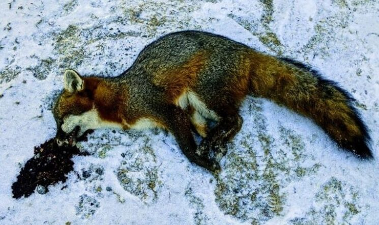 The fox killed by John Compagna after it reportedly attacked him at his Farmingdale home Tuesday.