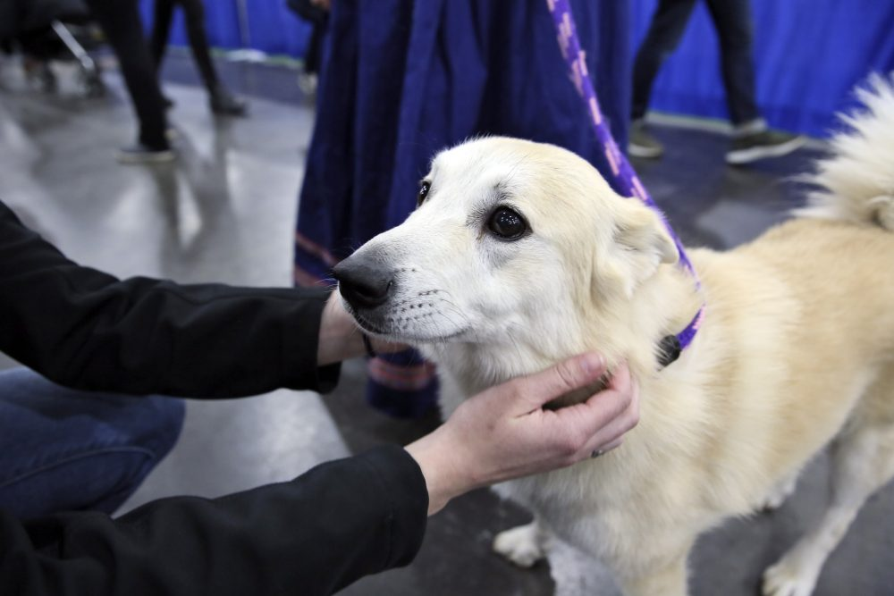 """In this Saturday, Jan. 25, 2020 photo, Ghost, a Norwegian buhund, greets visitors at the American Kennel Club's """"Meet the Breeds"""" event in New York. Ghost is competing at the Westminster Kennel Club dog show, but he's also a therapy dog that makes weekly rounds to see patients, staffers and visitors at a Delaware hospital, and he visits schools to serve as a nonjudgmental listener for children learning to read."""
