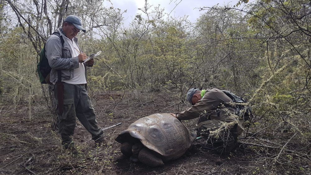 Park workers inspect a tortoise near Wolf Volcano on Galapagos Islands, Ecuador. An expedition to the foothills of the highest active volcano in the Galapagos Islands located a young female tortoise and she is a direct descendant of a giant tortoise species considered extinct.