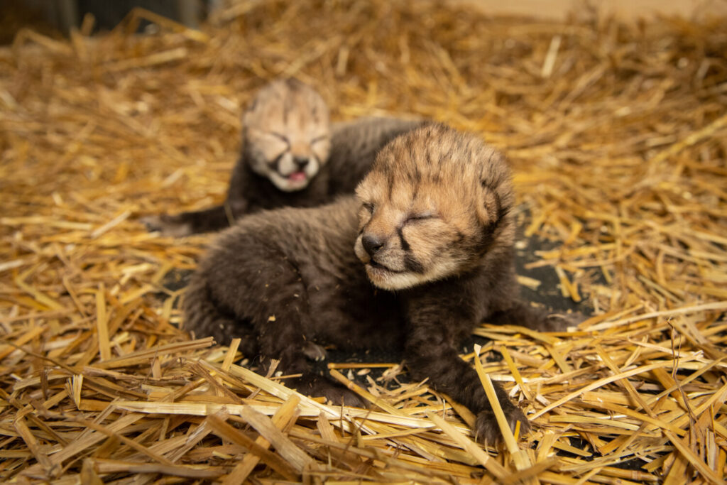 The first two cheetah cubs born via embryo transfer. The male and female were born Feb. 19 at Columbus Zoo in Ohio.