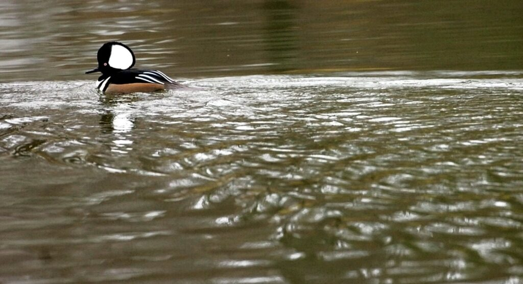 """The hooded merganser gets its name from the Latin """"mergus,"""" meaning hood and """"anser,"""" meaning goose, """"a perfectly apt description of these birds,"""" according to ornithologist Herb Wilson."""