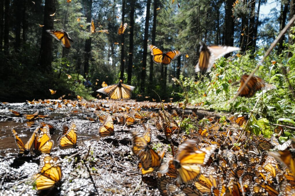 Every year, millions of monarch butterflies migrate to the same remote stretch of forest in central Mexico.