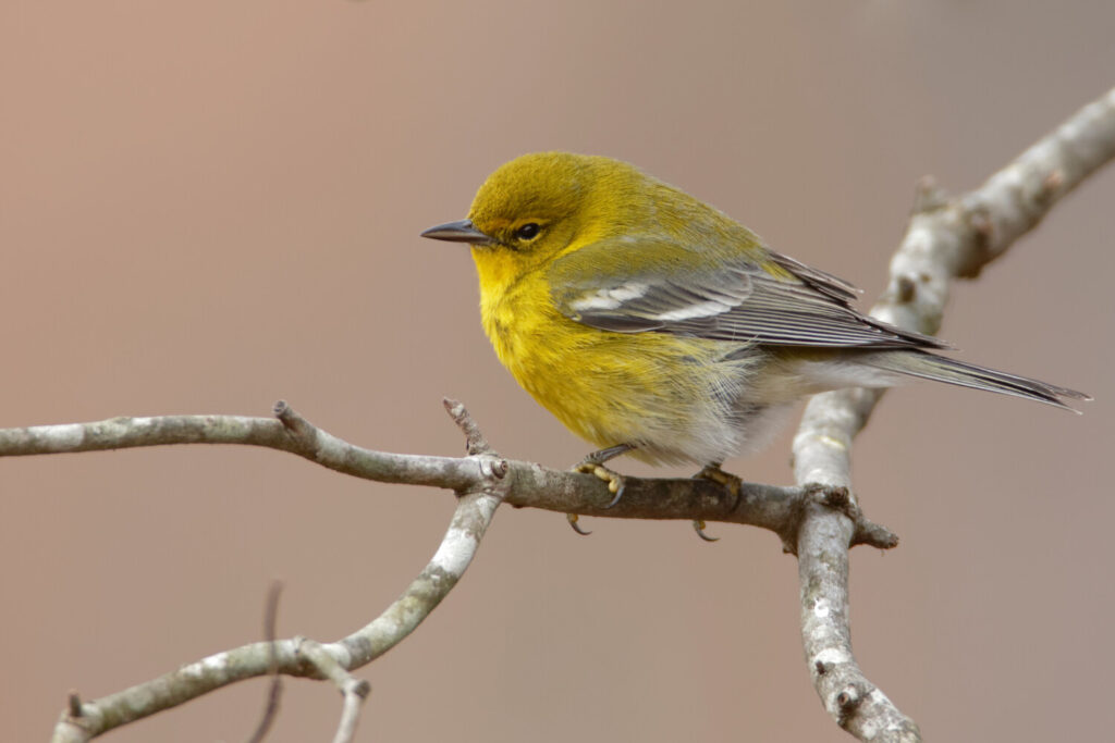 "The 30 Pine Warblers that were counted in December's Christmas Bird Count in Eastport was a ""mind-boggling total."""