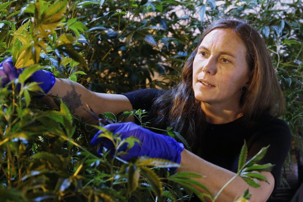 "Jessica Baker takes a cutting of a plant at a marijuana nursery at Baker Medical in Oklahoma City. She and her husband started their business in Humboldt County, Calif., but moved to Oklahoma shortly after the state passed medical marijuana legislation. ""Oklahoma is really allowing for normal people to get into the cannabis industry, as opposed to other places where you need $20 million up front,"" she said."