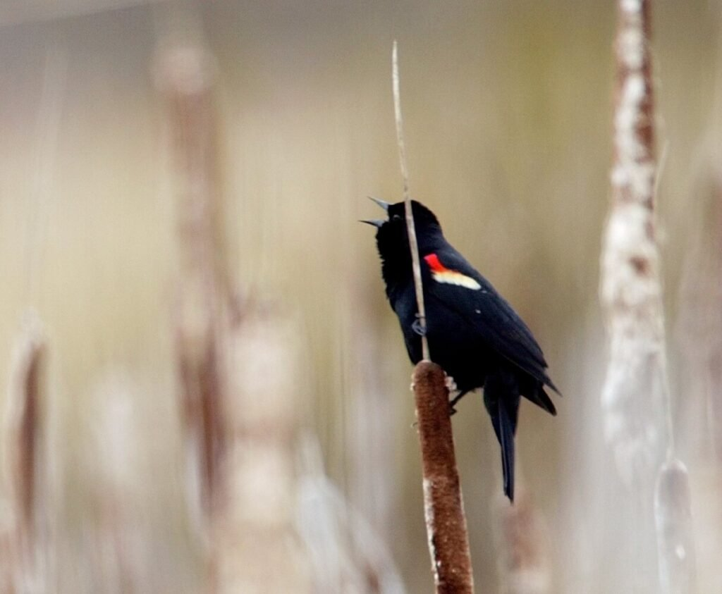 A red-winged blackbird greets the dawn at a bog in Augusta. Their return is a sign of spring in Maine, but it can be variable.
