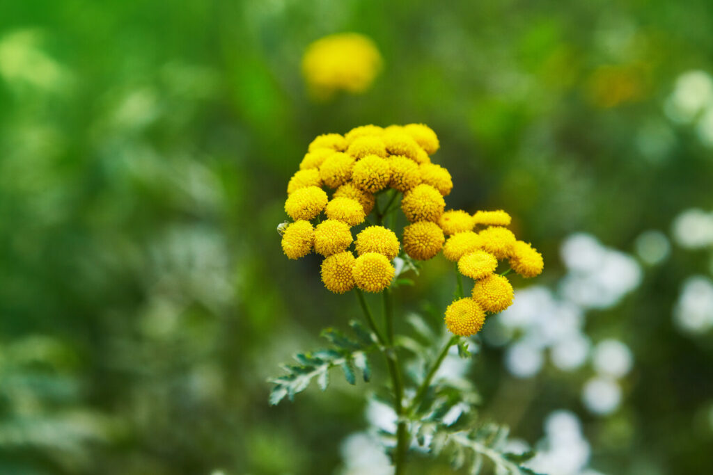 Tansy keeps away some bad bugs, but it's invasive.